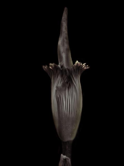 Amorphophallus titanum, Atlanta, GA, 2004