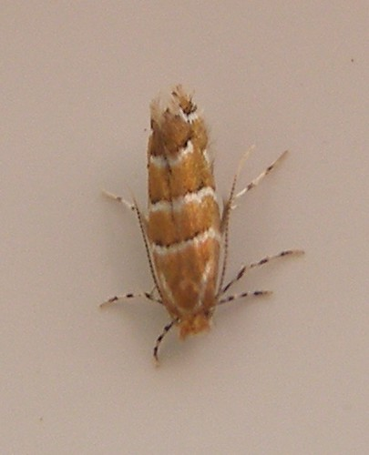 Image of a Horse Chestnut Leaf Miner Moth