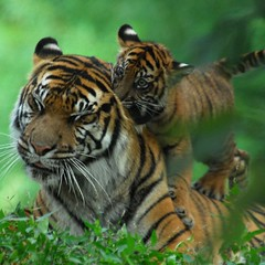Cubs will be cubs...  - Sumatran Tigers @ Washington DC / US National Zoo (Nikographer [Jon]) Tags: summer cats topf25 animal animals topv111 cat mom fun zoo cub washingtondc smithsonian dc washington lenstagged big topf50 topv333 nikon play mother 2006 bigcat nationalzoo cubs soy endangered d200 awww sumatrantiger nikkor tigris bigcats fonz washdc tigercubs soyono panthera iloveit 80400mmf4556dvr natlzoo nikond200 nikographer theworldthroughmyeyes pantheratigrissumatrae washingtondistrictofcolumbia sumatrae nikonstunninggallery specanimal animalkingdomelite abigfave usnationalzoo nikographerjon jss20081