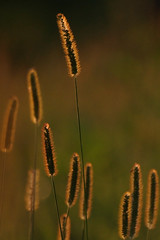 Backlit Grass (fenlandsnapper) Tags: italy grass 1025fav meadow 123 backlit montello sigma70300mmapodg