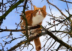 Muffi (Mats&Muffi) Tags: orange pet cats pets tree animal cat orangecat tabby kitty dynax7d treecat muffi cc800 cc700 cc400 cc300 cc200 cc500 cc1300 cc1000 cc600 cc900 cc1200 cc1100 abigfave