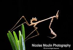 MANTIS (Empusa pennata) (Nicolas Moulin (Nimou)) Tags: macro nature animals closeup fauna mantis kodak insects natura bugs raynoxdcr250 worldlife