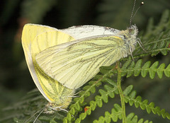 """Mating Green-veined Whites (Pieris napi) • <a style=""""font-size:0.8em;"""" href=""""http://www.flickr.com/photos/57024565@N00/235900958/"""" target=""""_blank"""">View on Flickr</a>"""