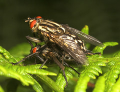"Mating Flesh Flies (Sarcophaga carnar(2) • <a style=""font-size:0.8em;"" href=""http://www.flickr.com/photos/57024565@N00/237011991/"" target=""_blank"">View on Flickr</a>"