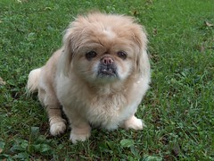 Goodbye Old Friend (Sassenach1) Tags: old dog grass canine blonde pekingese peke