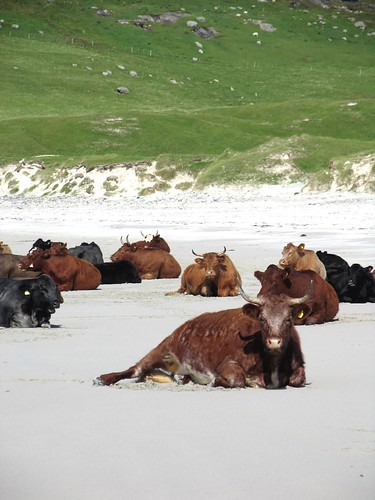 cows on a beach by paddimir.