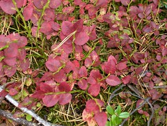 Red leaves, bilberry without berries (Elsa Kurppa) Tags: red leaves suomi finland 2006 bilberry blbr mustikka vacciniummyrtillus  50club 50clubcalidad  50clubquality elsakurppa