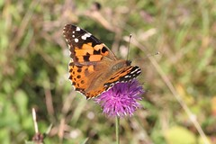 Painted Lady (JON0) Tags: butterfly lakedistrict cumbria paintedlady