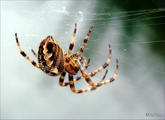 spider in the web (silviaON) Tags: summer brown macro nature germany garden insect spider europe close g sommer web sony 2006 september explore makro duisburg 1on1 aclass thecontinuum dsch5 mywinners abigfave physis