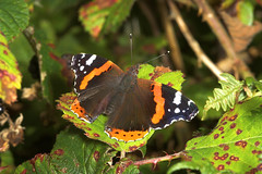 """Red Admiral Butterfly (Vanessa atalan(2) • <a style=""""font-size:0.8em;"""" href=""""http://www.flickr.com/photos/57024565@N00/243687816/"""" target=""""_blank"""">View on Flickr</a>"""