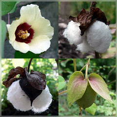 Cotton (wendymerle) Tags: dwarf mosaic cotton gossypium