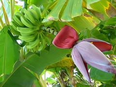 Banana Tree (Barefoot In Florida) Tags: flowers landscape florida bananas
