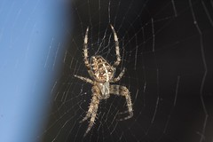 "Garden Cross Spider (Araneus diademat(3) • <a style=""font-size:0.8em;"" href=""http://www.flickr.com/photos/57024565@N00/245390013/"" target=""_blank"">View on Flickr</a>"