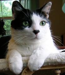 Happy Furry Friday! (Maia C) Tags: cats cat nikon lj explore alexander furryfriday catpaw comment cowcat maiac interestingcat
