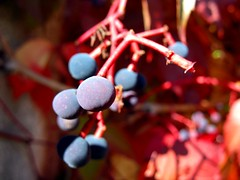 Red, Purple & Blue (Victor Radziun) Tags: blue autumn red stpetersburg berry purple russia petersburg virginiacreeper peterhof        ampelopsisquinquefolia