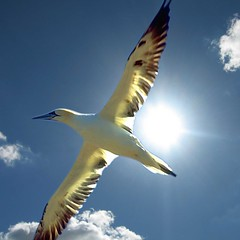 Blue Bird (Heaven`s Gate (John)) Tags: blue sky sun white bird nature topf25 beautiful wow ilovenature flying flight creative dramatic bluesky imagination bluebird flickrific johndalkin heavensgatejohn