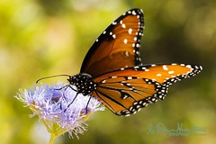 There are only two ways to live your life: One is as though nothing is a miracle.  The other is as though everything is a miracle. (wildphotons) Tags: bird lady austin butterfly tx johnson center queen tropic wildflower danus eresimus animalkingdomelite