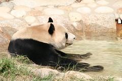 Ko Ko taking a bath (meithemamanda) Tags: japan zoo panda tan kobe ko pandas oji