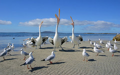 Three pelicans sing !  Australia (john white photos) Tags: wildlifeofaustralia firsttheearth