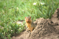 Mongoose (hvhe1) Tags: africa nature animals wildlife safari mongoose hennie specanimal hvhe1 hennievanheerden