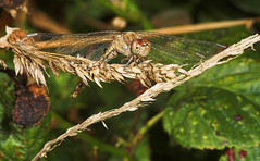 """Common Darter Dragonfly (Sympetrum s(13) • <a style=""""font-size:0.8em;"""" href=""""http://www.flickr.com/photos/57024565@N00/253912944/"""" target=""""_blank"""">View on Flickr</a>"""