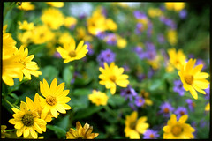 September Flowers (Voxphoto) Tags: garden annarbor nativeplants velvia50 woodlandsunflower newenglandaster asternovaeangliae heliopsishelianthoides nativelandscaping zuiko5014