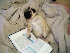 Gizmo the Pug Studies for Law School