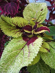 Coleus 'Unknown Speckled Green'