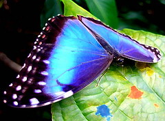 Morpho butterfly wings inspire thermal imaging breakthrough