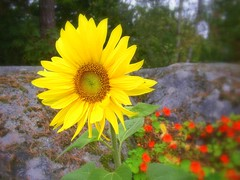 Solros - sunflower (Per Ola Wiberg ~ Powi) Tags: flowers nature berg rock sweden awesome 2006 september harmony sunflower blommor shiningstar flowersgarden solros floralia krasse bloomingflowers eker wrangels flowerlovers beautifulbeautifulbeautiful abigfave impressedbeauty flickrhearts flickrenvy flickrbronzeaward heartawards eperke flowerwatcher flickrsun ~vivid~ justlovelyphotos colourartaward flowersmakeeveryonehappy flickrblooms photonow everydayissunday theperfectphotographer naturelimited funfanphotos sasawards thegoldenflower beautifulshot apeachofashot peachofashot thepictureperfectgroup naturescreations dragonflyawardsgroup beautifulflowersgroup flickrsnatureaward