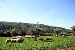 sheep and the olive trees... (thecolourblue) Tags: trees portugal village sheep olive 2006 september grazing aldeia oliveira ovelhas ourondo