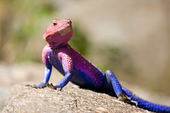 Agama Lizard (fredodurand) Tags: africa blue color macro nature rock tanzania colorful purple bokeh wildlife lizard agama 10faves specnature