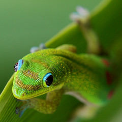 Gumption (konaboy) Tags: macro green closeup hawaii bravo quality gecko madagascar perfection gumption 28121 specanimal animalkingdomelite akimageoftheday