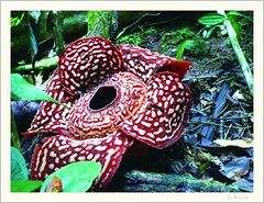 Rafflesia and my Dedication (Araleya) Tags: travel mountain flower island fz20 rainforest bravo asia southeastasia panasonic malaysia borneo tropical bloom kotakinabalu rafflesia iloveit araleya specnature bluelist