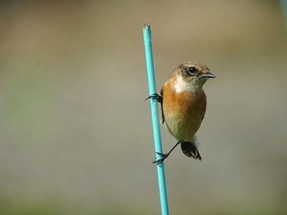 Stonechat Digiscoping4