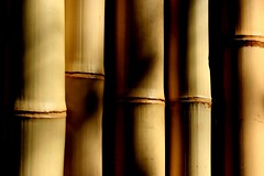 bambu (joaobambu) Tags: shadow stilllife detail macro texture topf25 yellow topv111 cane wall closeup canon interestingness interesting topv555 topv333 shadows quote sold background postcard details stock shapes sombra bamboo pole textures blackground canes strong forms topv777 strength form poles shape sombras topf15 brucelee bambu treated repitition node bamboos bambus 30d flexible nodes phylostachys postkarte bamboe imagekind brainyquotecom filousophie