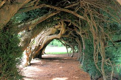Aberglasney Yew Tunnel (Kev Bailey) Tags: tree wales garden tunnel yew aberglasney taxusbaccata gardenstatuary
