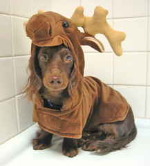 There's a Teddy-Moose in the bathroom. (Doxieone) Tags: dog brown fall halloween costume long teddy chocolate mosaic c moose dachshund final hi miscellaneous haired mostpopular ggg longhaired final3 topfavorite abigfave mondayisteddymooseday 1517251023 371151927 584171030 80520116 halloweenset teddyset 191831929 19503110707 fallhalloween200672008set ddate