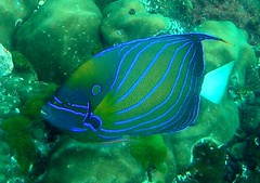 Ring Angelfish Indian Ocean Version (_takau99) Tags: ocean trip travel sea vacation holiday fish macro uw nature water topv111 coral thailand topv555 topv333 nikon october marine asia southeastasia underwater wildlife indian indianocean topv444 dive scuba diving 2006 topv222 thai tropical coolpix scubadiving s1 nikoncoolpixs1 phuket angelfish andaman andamansea coolpixs1 acation hindaeng takau99 cruies ringangelfish nokoncoolpix