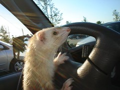 I'm DRIVING HERE! (Globetoppers) Tags: pet pets ferret interestingness funny driving humor explore cuteness coolest eyecandy animaladdiction drivingferrets itsfloridanoonewillnoticethedifference rodenteater furfriend lmaoanimalphotoaward coolestphotographers