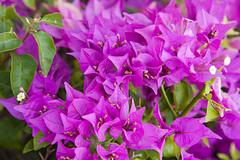 Flora (3) (Cristiano Abreu) Tags: hawaii ohau