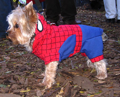 spiderdog (istolethetv) Tags: nyc dog eastvillage newyork halloween photo foto image lowereastside snapshot spiderman peterparker picture halloweencostume terrier photograph spidey pooch   halloweendogs tompkinssquare dogsincostumes dogcostume uomoragno halloweendogparade tompkinssquareparkdogparade spectacularspiderman luomoragno newyorkdogs eastvillagedogparade tompkinssquaredogparade canetravestito caneincostume halloweencostumesfordogs