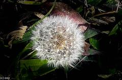 Blowball in December / Pusteblume im Dezember (konstantin oxy) Tags: pusteblume lwenzahn natur blowball