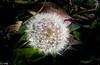 Blowball in December / Pusteblume im Dezember (konstantin oxy) Tags: pusteblume löwenzahn natur blowball