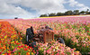 The Flower Fields 3.24.18 7 (Marcie Gonzalez) Tags: the flower fields carlsbad southern california ca flowers attraction attractions destination destinations plant plants petal petals bloom blooming blooms many botanical botanicals light day morning lighting sun sunny daylight natural nature theflowerfieldscarlsbad san diego field rainbow rows color colors bright ranunculus county north america usa socal so cal marcie gonzalez marciegonzalez marciegonzalezphotography photography canon theflowerfields flowerfields blanket cover covered horizon thousands spread 2018