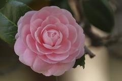Tsubaki,Senbonshakado,Kyoto (yopparainokobito) Tags: camelliajaponica camellia tsubaki senbonshakado kyoto つばき 椿 千本釈迦堂 京都 北野 西陣 canon eos eosm3 m3