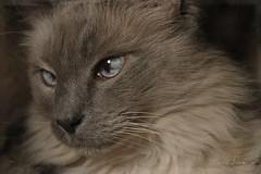 In the dark (martisimas) Tags: ragdoll dark blue crosseyed kitty beautiful eyes cat