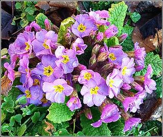 Wild Primulas ..