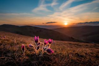 Pasqueflower at sunset