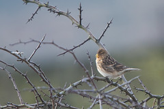 Thornbird (Twite) (Tim Melling) Tags: linaria flavirostris twite singing west yorkshire timmelling